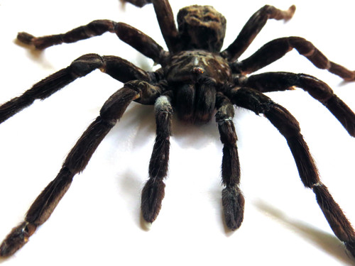 Pamphobeteus antinous lge ( sold out coming back early FEB 21 )