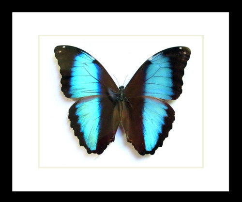 Real butterfly insect framed Morpho diedama Bits & Bugs
