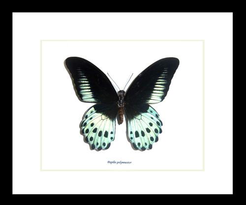 Papilio polymnestor Bits&Bugs
