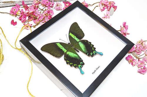 home decor design taxidermy butterfly for sale Papilio blumei Bits & Bugs