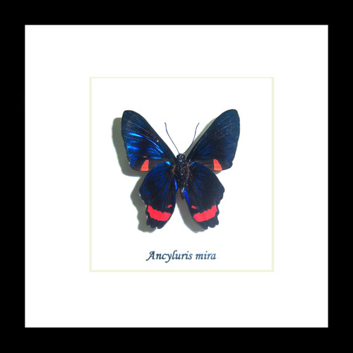 Ancyluris mira Bits & Bugs