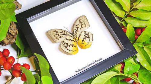 Butterfly framed Melanocyma faunula faunula Bits and Bugs