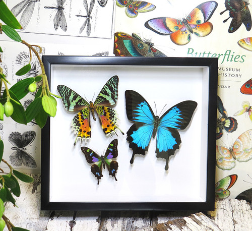 design Bits & Bugs moth for sale blue butterfly lepidopterahome decor interior design