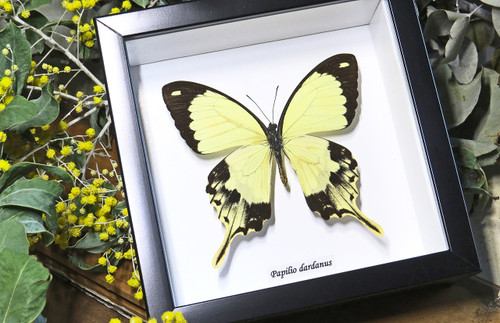 Butterfly in frame Papilio dardanus Bits&Bugs