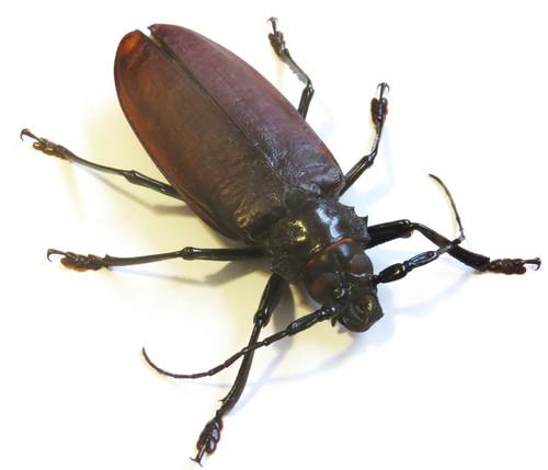 titanus giganteus bitsandbugs