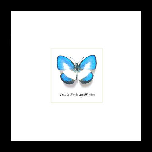 Butterfly frame Danis danis  Bits&Bugs