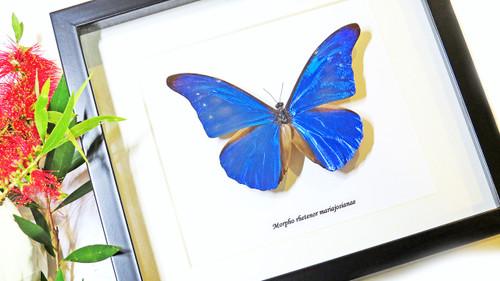 Butterfly framed Morpho rhetenor mariajosianae Bits and Bugs