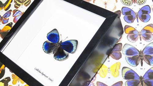 Framed butterfly Callithea leprieuri Bits&Bugs