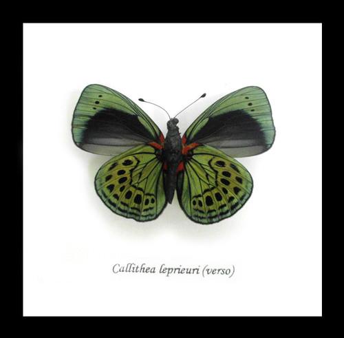 butterfly for sale Australia home decor interior design Callithea leprieuri bits & bugs