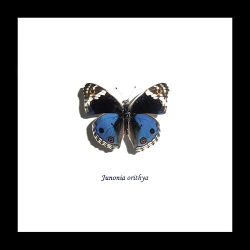 Junonia orithya label