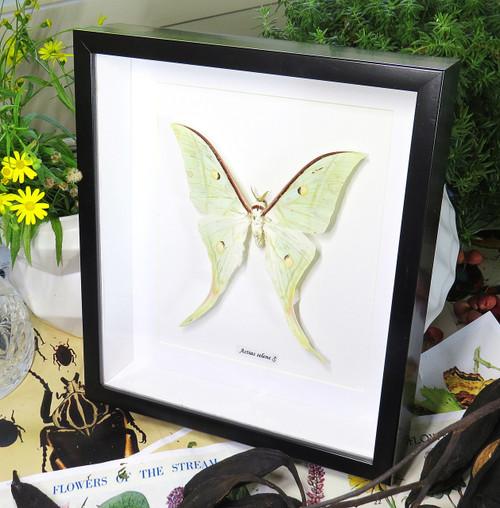 moon lunar moth Actias selene Indian moon moth Bits & Bugs
