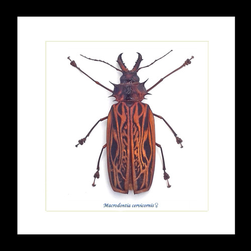 Bugs beetles insects  Bits & Bugs Macrodontia cervicornis