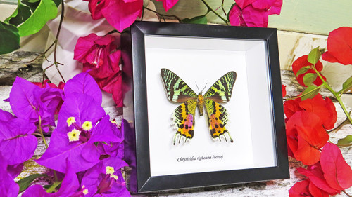 Sunset moth framed Chrysiridia rhipheus  Bits&Bugs