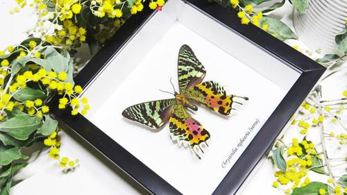 Sunset moth framed Chrysiridia rhipheus  Bits&Bugs