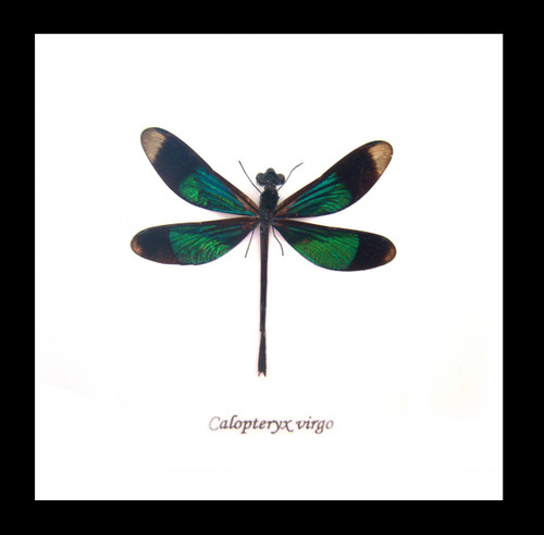 Dragonflies framed Calopteryx virgo Bits and Bugs
