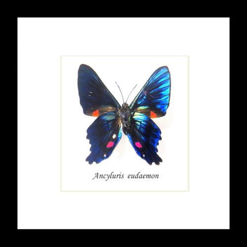 Ancyluris eudaemon