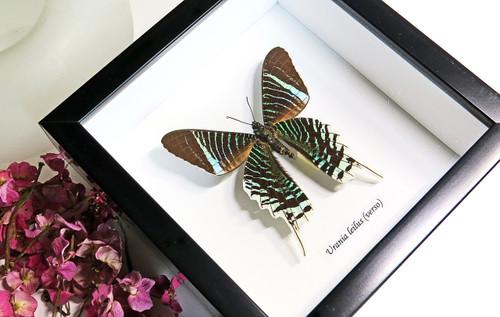 framed butterflies Australia