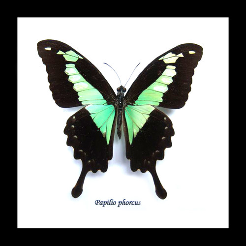 Butterfly frame Papilio phorcas Bits & Bugs
