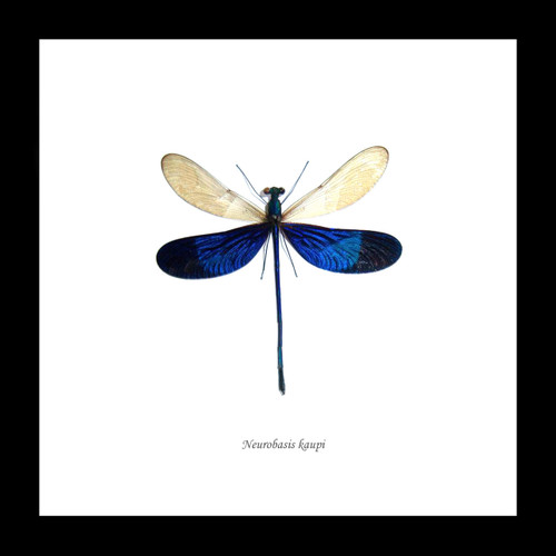 dragonfly insect framed Neurobasis kaupi  Bits and Bugs