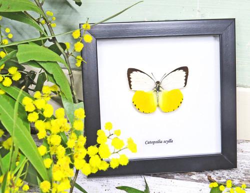 Australian butterflies Catopsilia scylla Bits&Bugs