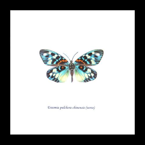 Moth Erasima pulchera chinensis Bits & Bugs