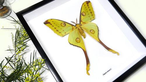 Framed moth Argema mittrei Bits and Bugs