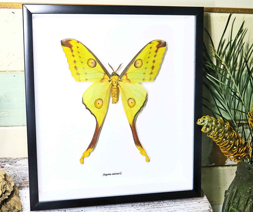 Framed moth Argema mittrei Bits and Bugs