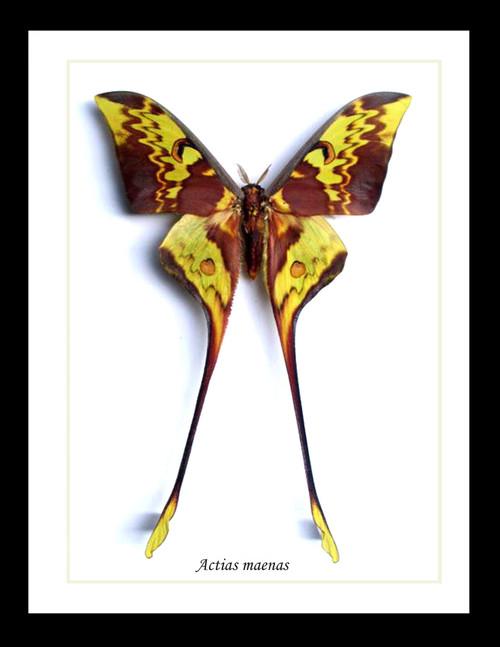 Moth Actias maenas Bits & Bugs