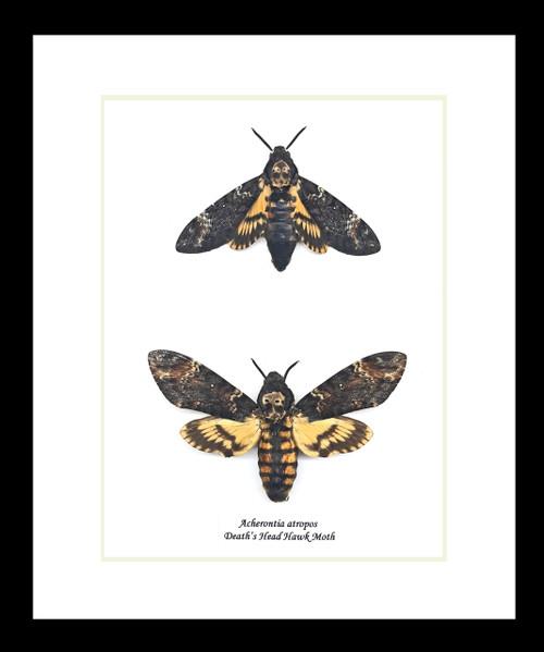 Acherontia atropos aka Deaths Head moth pr