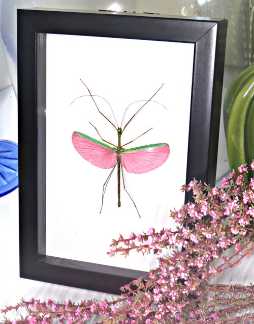 pink winged stick insect Necroscia annulipes