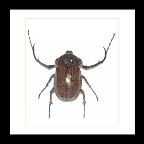 Real Beetle Cheirotonus gestroi