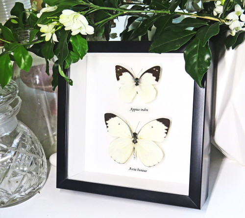 black and white butterflies for sale