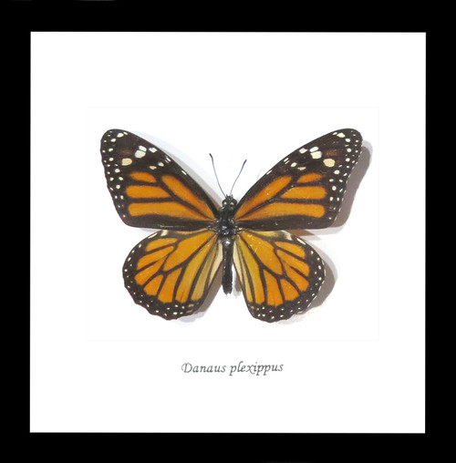Australian butterfly for sale Monarch butterfly Bits&Bugs