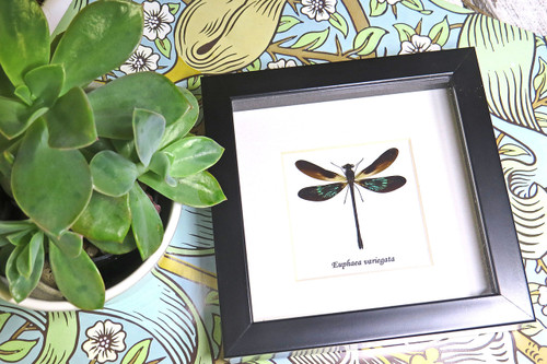 Euphaea variegata dragonfly Bits and Bugs