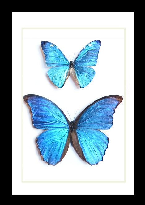 morpho butterfly for sale