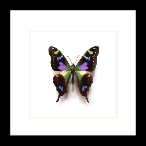 Butterfly species Graphium weiskei matt Bits&Bugs