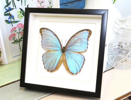 butterfly for sale Australia home decor interior design Morpho godarti Bits&Bugs