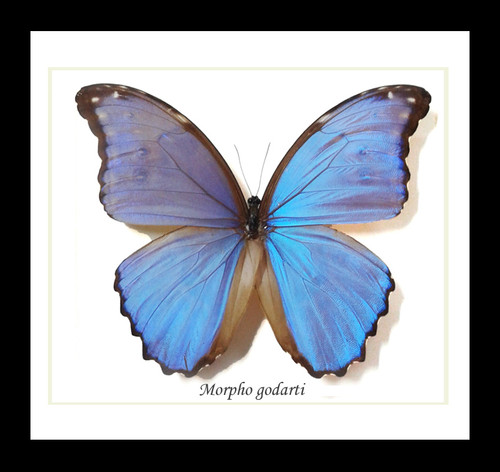 Framed butterflies Morpho godarti Bits&Bugs