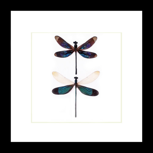 dragonfly butterfly taxidermy entomology Bits and Bugs