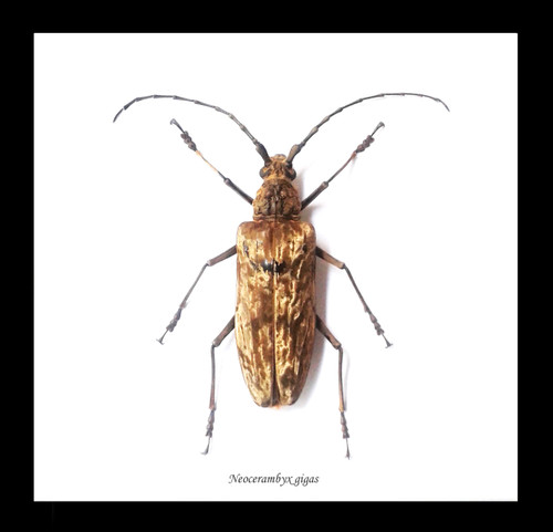 Longhorn beetle bug insect  Bits & Bugs NEOCERAMBYX GIGAS