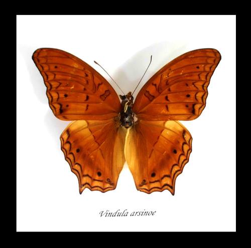 butterfly for  sale Australia Vindula arsinoe