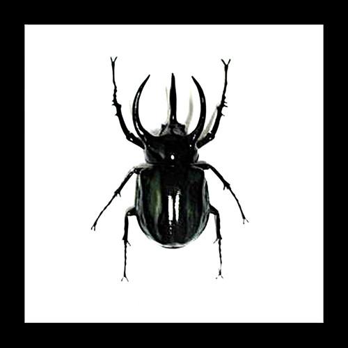 Beetle real insect bug Chalcosoma atlas Bits & Bugs