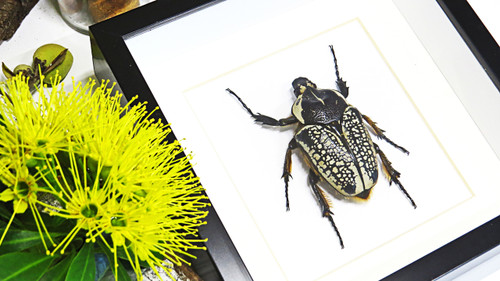 Real insect beetle Goliathus orientalis Bits & Bugs