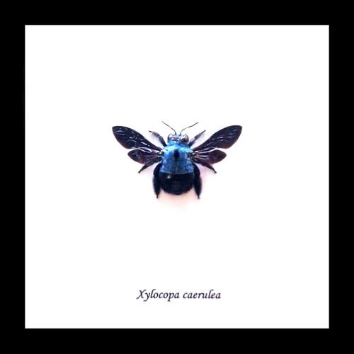 Xylocopa caerulea Bee Bits & Bugs