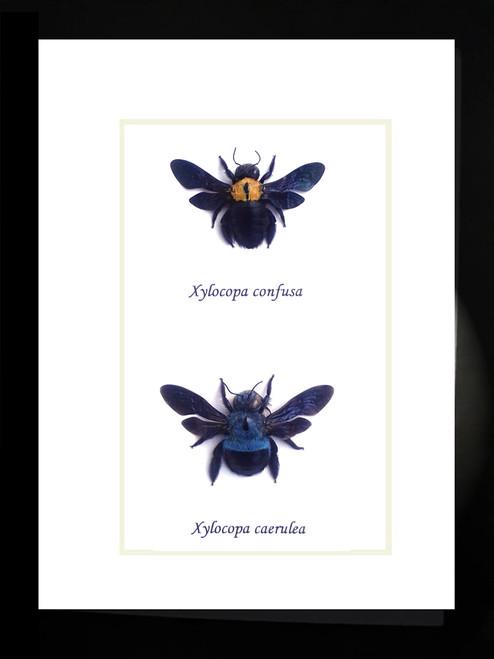 Xylocopa caerulea in frame Bits & Bugs