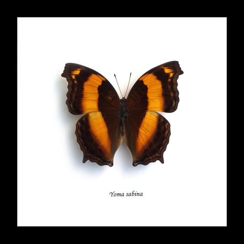 Australian butterfly framed
