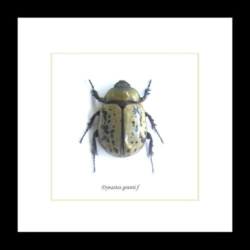 taxidermy framed beetle entomology Dynastes granti female