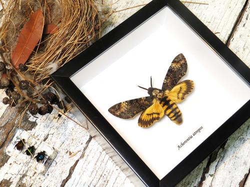 Acherontia atropos    Death's-head moth