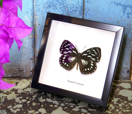 Real Butterfly in shadowbox Euxanthe eurinome Bits&Bugs