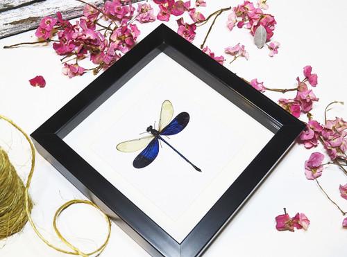Neurobasis kaupi dragonfly Bits and Bugs